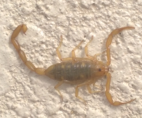OBSERVATIONS IN NATURE: Scorpions - The Vail Voice